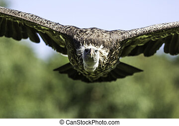 Vulture approaching - Head-on picture of a Ruppell's Griffon...