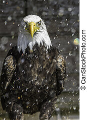 American Bald eagle in rain - nictitating membrane - This...