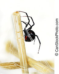 Venomous black widow spider - Beautiful and deadly female...