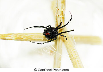 Belly of a black widow spider - Beautiful and deadly female...