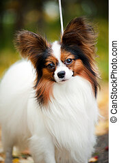 Papillon dogs in autumn - portpait of Papillon dogs in the...