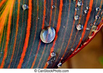 Raindrops on Lily leaf - Close up of Raindrops on Lily leaf