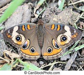 buckeye and debris - Buckeye butterfly resting among organic...