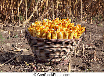 Corn harvest - Harvested corn in a basket with field in...
