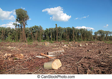 Lumber industry - Freshly sawed big trees in a  forest