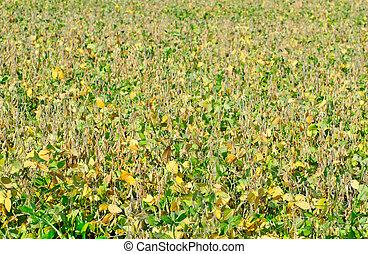 field soybeans in autumn . - field soybeans