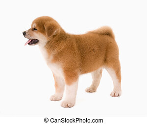 Puppy dog - One  Akita Inu puppy dog on white background