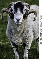 Herdwick adult ram - Herdwick sheep adult ram with well...