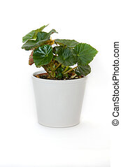 Begonia - Flower in a pot on a white background