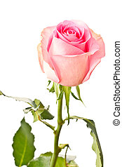 rose - beautiful natural pink rose on white background