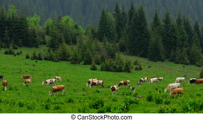 Some cows on the field