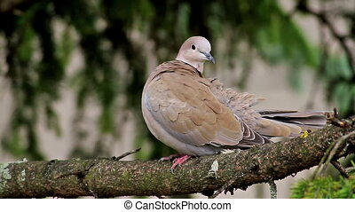 Dove - Eurasian Collared Dove self cleaning