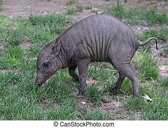 bebé,  babirusa
