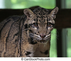 Clouded Leopard (Neofelis nebulosa) - The clouded leopard...