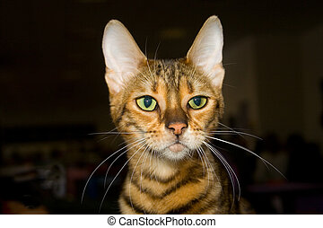 """Toyger cat - Toyger (i.e. """"toy tiger"""") cat on the World Cat..."""