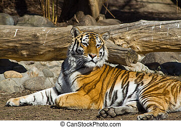 Amur tigress - Young amur tigress Panthera tigris altaica in...