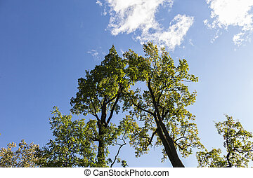 two oaks growing together against blue sky