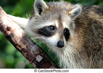 racoon - A racoon living among the mangroves in the swamps...
