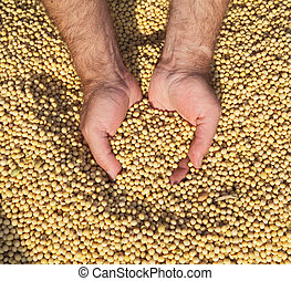 Soybean - Human hands holding soy beans after harvest