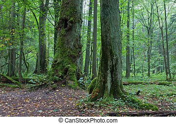 Old moss wrapped trees - Old natural stand with old trees in...