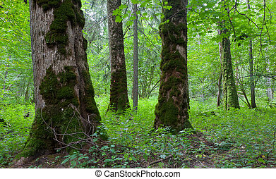 Three giant old maples - Three moss wrapped giant maples in...
