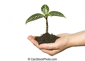 hand holding sapling - Hands holding sapling in soil on...