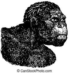Java Man Homo erectus - Head of Java Man Homo erectus