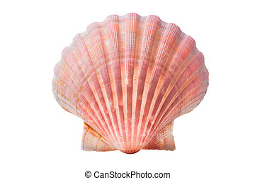 scallops shell See Pectinidae on the white background
