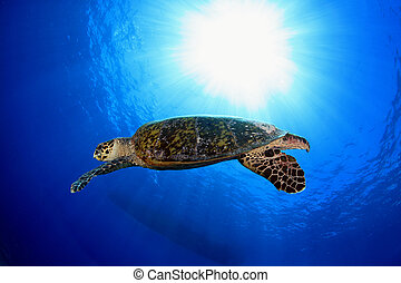 Sea turtle - Hawksbill sea turtle in the blue water of the...