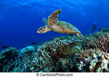 Sea turtle - Hawksbill sea turtle in the coral reef