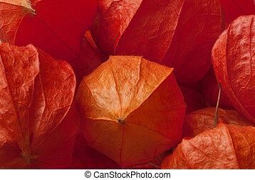 Physalis - Red flowers of Physalis collected in late autumn