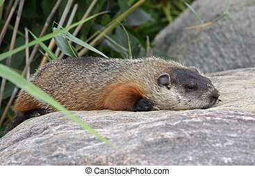 Resting Groundhog - A groundhog (Marmota monax) resting on a...