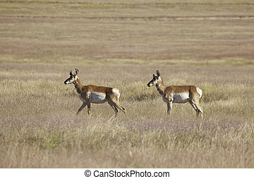 Pronghorn Antelope - a pair of pronghorn antelope on the...