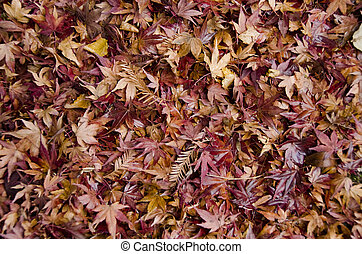Background of japanese maple leaves in autumn