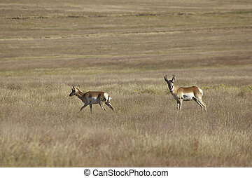 Pronghorn Antelope - a pair of pronghorn antelope on a...
