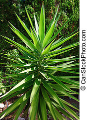 Yucca plant - extremely green and giant yucca plant