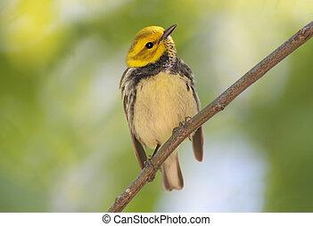 Warbler In Spring - Black-throated Green Warbler Dendroica...