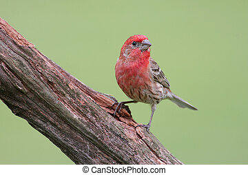 Male House Finch (Carpodacus mexicanus) on a stump
