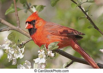 Male Northern Cardinal cardinalis cardinalis