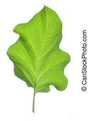 Eggplant leaf - Top side of healthy eggplant leaf isolated...