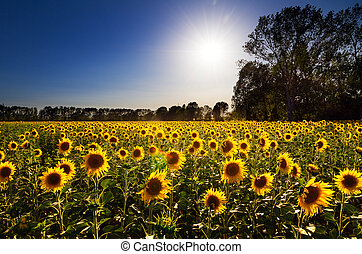 Sunflower landscape - Beautiful field of sunflowers, backlit...
