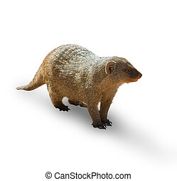 Mongoose Isolated On White Background