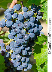 Pinot Noir grapes - Lush Pinot Noir grapes on the vine in...