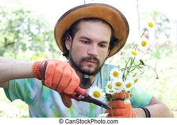 Man cutting the camomile bouquet in the garden