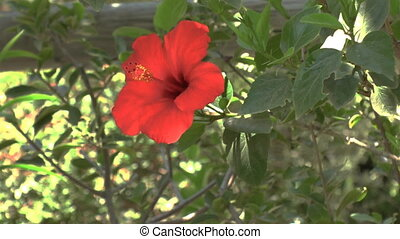 Background with red Hibiscus flower, Crete
