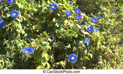 Background with blue flowers of Field Bindweed Convolvulus...