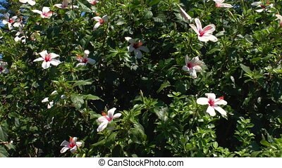 Background with rose Hibiscus flower, Crete