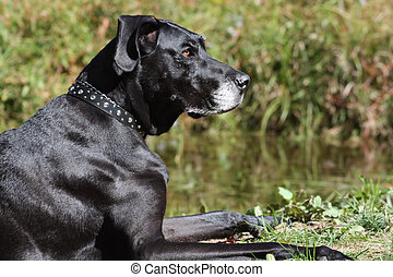 Great Dane Profile - Side view of a black Great Dane with a...