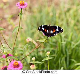 Common eggfly nymph Australian butterfly on pink flowers -...