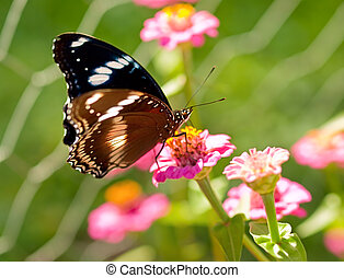 Australian butterfly Common eggfly live species - Australian...